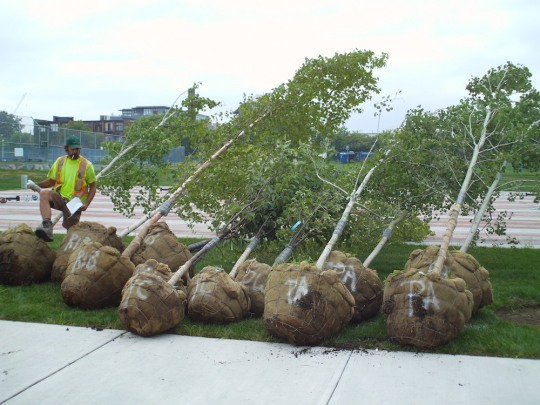 Some of our 50 new trees being planted by Salivan Landscaping as part of the new Town Square.